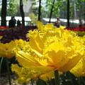 Solar Tulip by Elena Saveleva