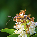 Soldier Beetle by Steve Marler