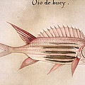 Soldier-fish, 1585 by Granger