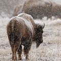 American Bison In Snow by Philip Rodgers