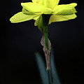 Solitaire Yellow Daffodil by Alan Look