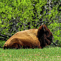 Solitary Buffalo by Marilyn Burton