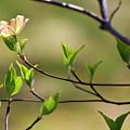 Solitary Dogwood Bloom by Teresa Mucha