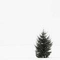 Solitary Evergreen Tree by Jennifer Squires