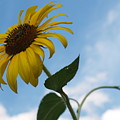 Solitary Sunflower From Below by Anna Lisa Yoder