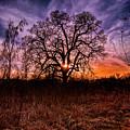 Somenos Oak by Barry Reid