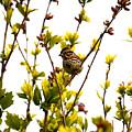 Song Sparrow by Belinda Stucki