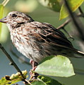 Song Sparrow by David Rosenthal