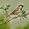 Song Sparrow by John Bartelt