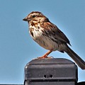 Song Sparrow Profile         Summer      Indiana by Rory Cubel
