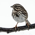 Song Sparrow Profile by William Bitman