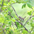 Song Sparrow With Dinner by Kerri Farley