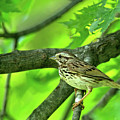 Songsparrow In Spring by Natural Focal Point Photography