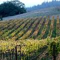 Sonoma County Vineyards Near Healdsburg by Charlene Mitchell