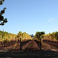 Sonoma Vineyards - Sonoma California - 5d19314 by Wingsdomain Art and Photography
