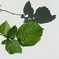 Sophisticated Shadows - Glossy Hazelnut Leaves On White Stucco - Horizontal View Left Down by Georgia Mizuleva