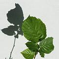 Sophisticated Shadows - Glossy Hazelnut Leaves On White Stucco - Vertical View Upwards Left by Georgia Mizuleva