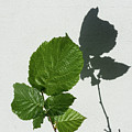 Sophisticated Shadows - Glossy Hazelnut Leaves On White Stucco - Vertical View Upwards Right by Georgia Mizuleva