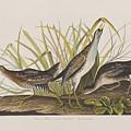 Sora Or Rail by John James Audubon