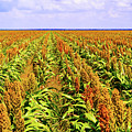 Sorghum Plants Fields In Botswana by Marek Poplawski