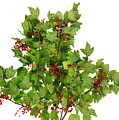 Sour Red Berries Bush Isolated by Aleksandr Volkov
