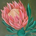 South Africa Protea by Perola Oliveira