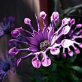 South African Daisy by Tracey Vivar