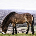 South Downs Wild Pony by Toula Mavridou-Messer