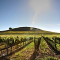 South Napa Valley Morning by Ray Marcus