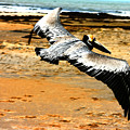 South Padre Pelican by Laurie Prentice