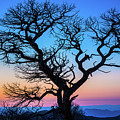 South Rim Tree by Inge Johnsson