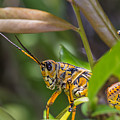 Southeastern Lubber Grasshopper by Christopher L Thomley