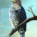 Southern Banded Snake Eagle by Anthony Mwangi