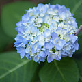Southern Blue Hydrangea Blooming by Dale Powell