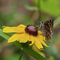 Southern Cloudywing On Blackeyed Susan by Paul Rebmann