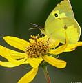 Southern Dogface Butterfly by Barbara Bowen