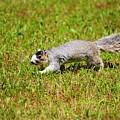 Southern Fox Squirrel by Cynthia Guinn