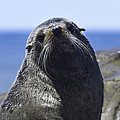 Southern Fur Seal by Peter Lloyd