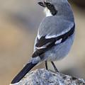 Southern Grey Shrike-- . by Chris Smith