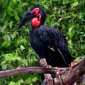 Southern Ground Hornbill by Sergey Lukashin