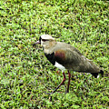 Southern Lapwing by Norman Johnson