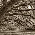 Southern Live Oak Trees by Dustin K Ryan