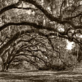 Southern Live Oaks With Spanish Moss by Dustin K Ryan