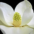 Southern Magnolia 2 by Isabela and Skender Cocoli