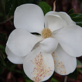 Southern Magnolia Matchsticks by Dale Powell