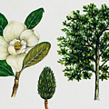 Southern Magnolia Or Bull Bay  by Unknown