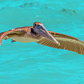Southern Most Pelican by Betsy Knapp