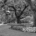 Southern Oaks In Black And White by Kathy Baccari
