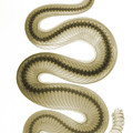 Southern Pacific Rattlesnake, X-ray by Ted Kinsman