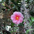 Southern Pink Camellia by Cynthia Guinn